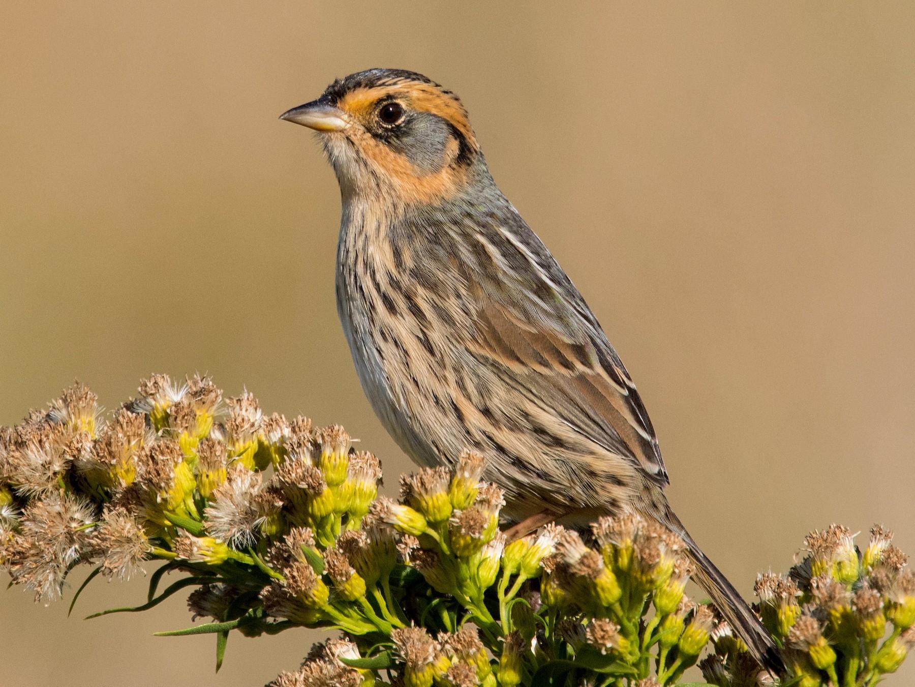 Saltmarsh Sparrow - Derek Rogers