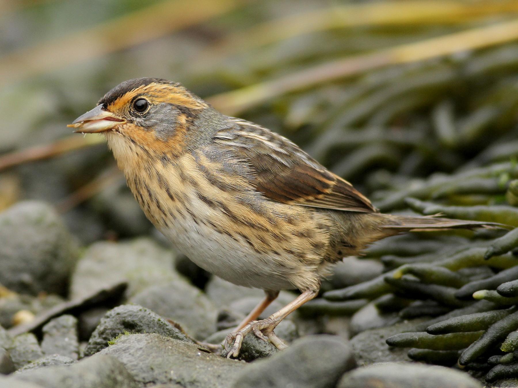 Saltmarsh Sparrow - Evan Lipton