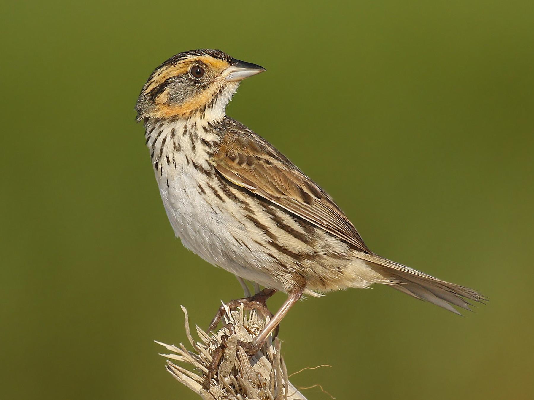 Saltmarsh Sparrow - Ryan Schain