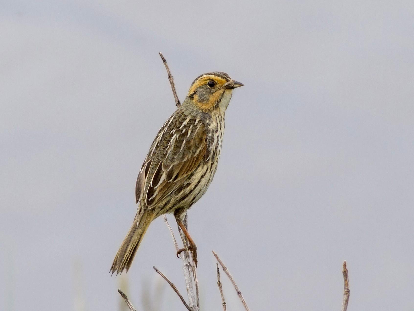 Saltmarsh Sparrow - Samuel Paul Galick