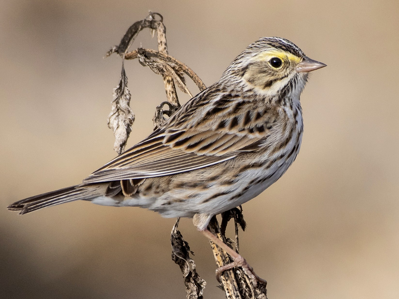 Savannah Sparrow - Bryan Calk
