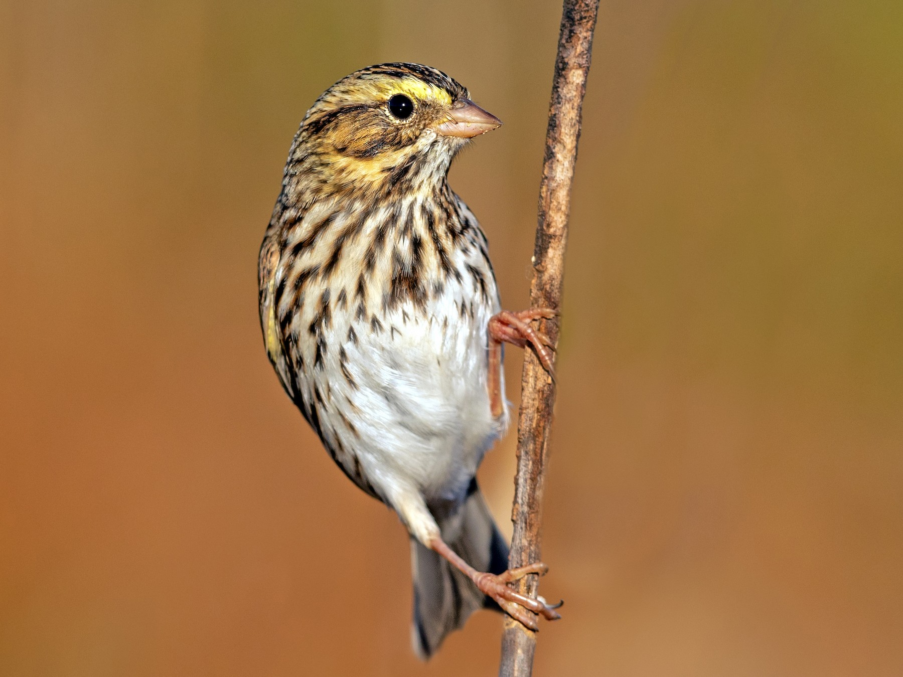 Savannah Sparrow - Brad Imhoff