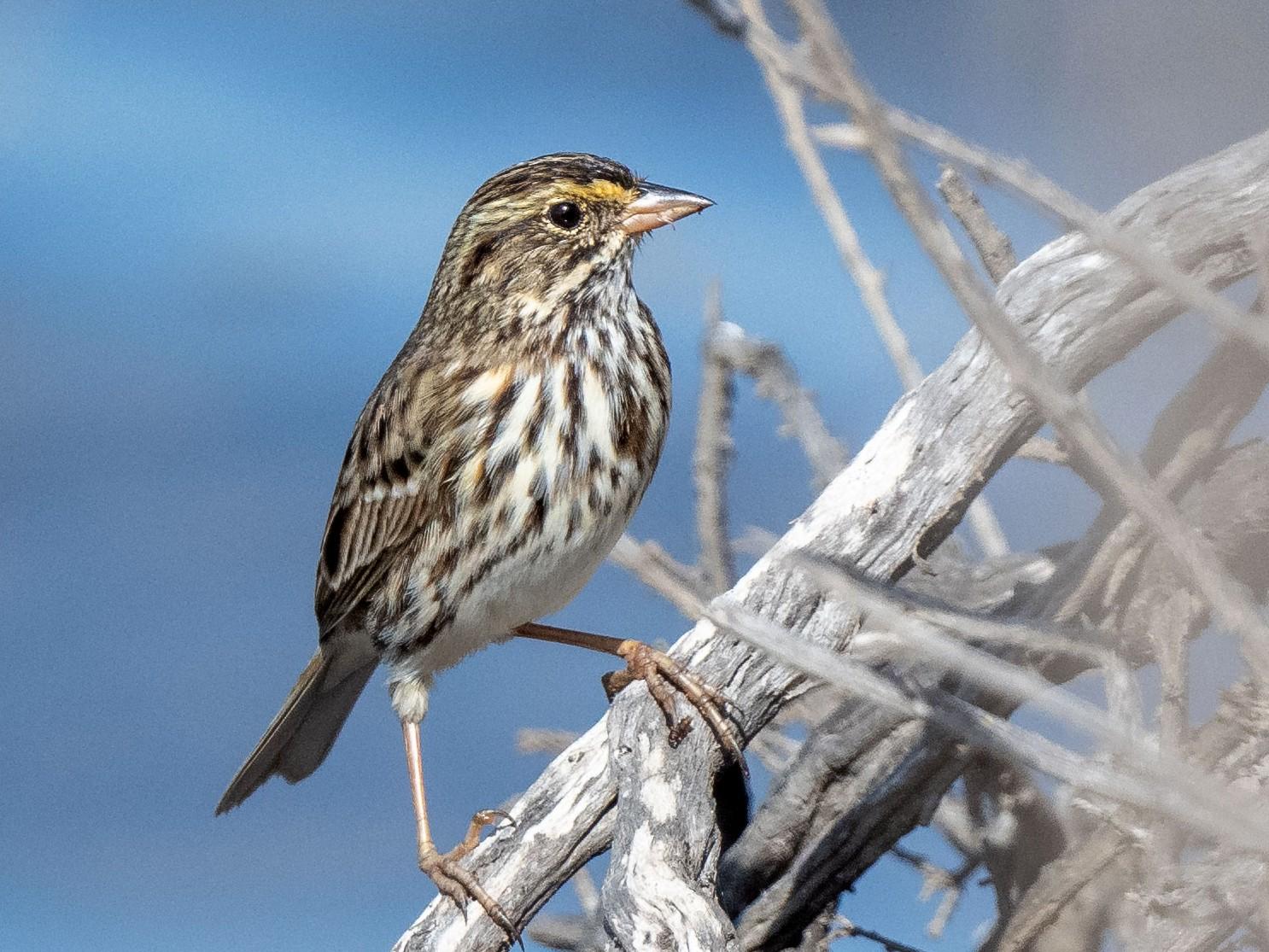 Savannah Sparrow - Andrew Newmark
