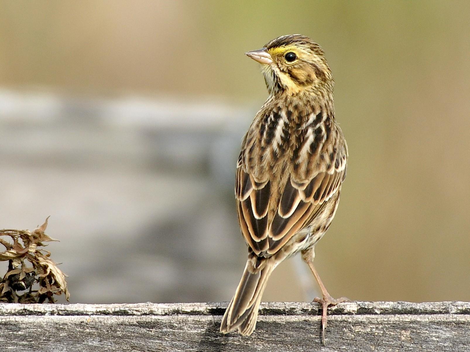 Savannah Sparrow - Oliver Patrick