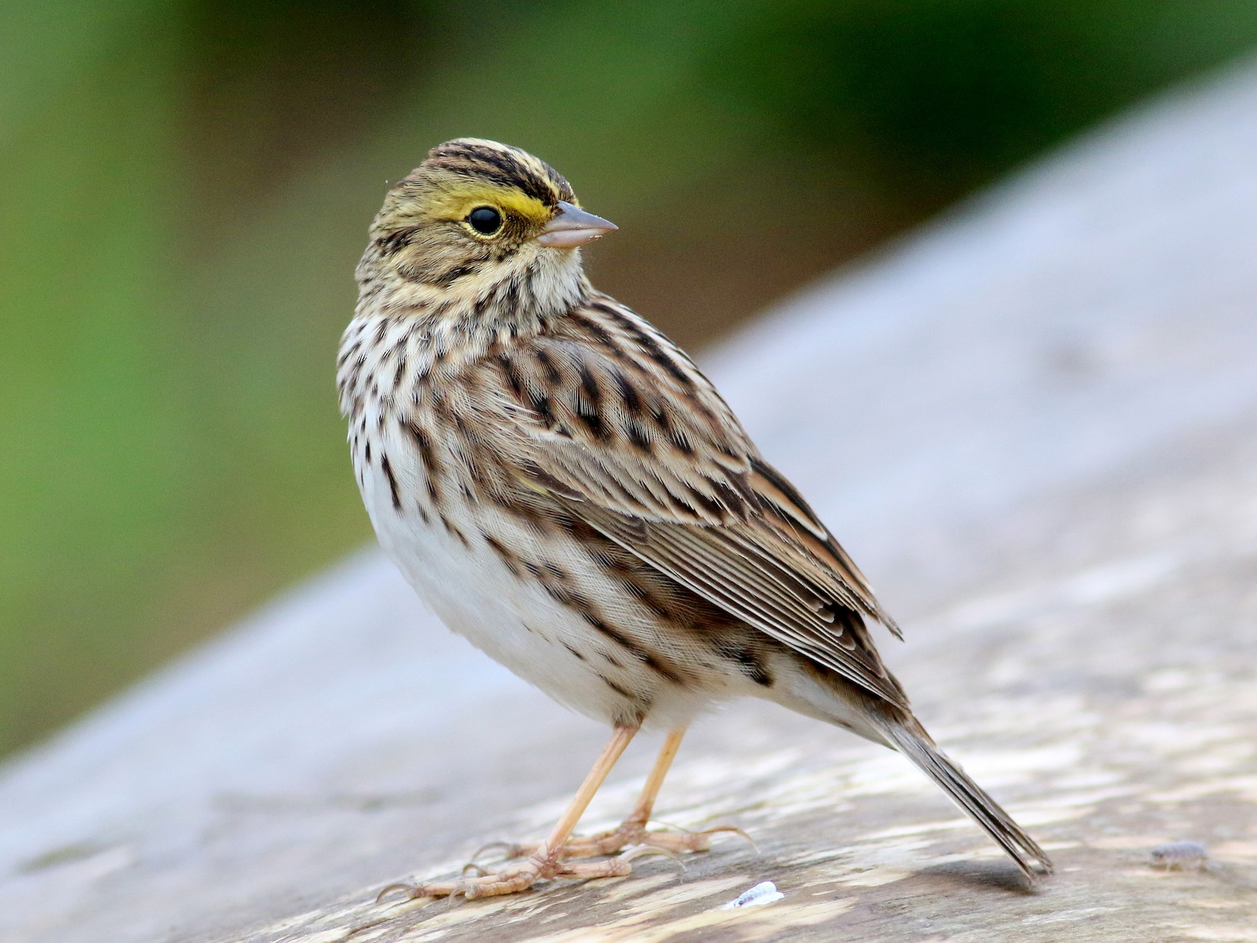 Savannah Sparrow - Daniel Branch