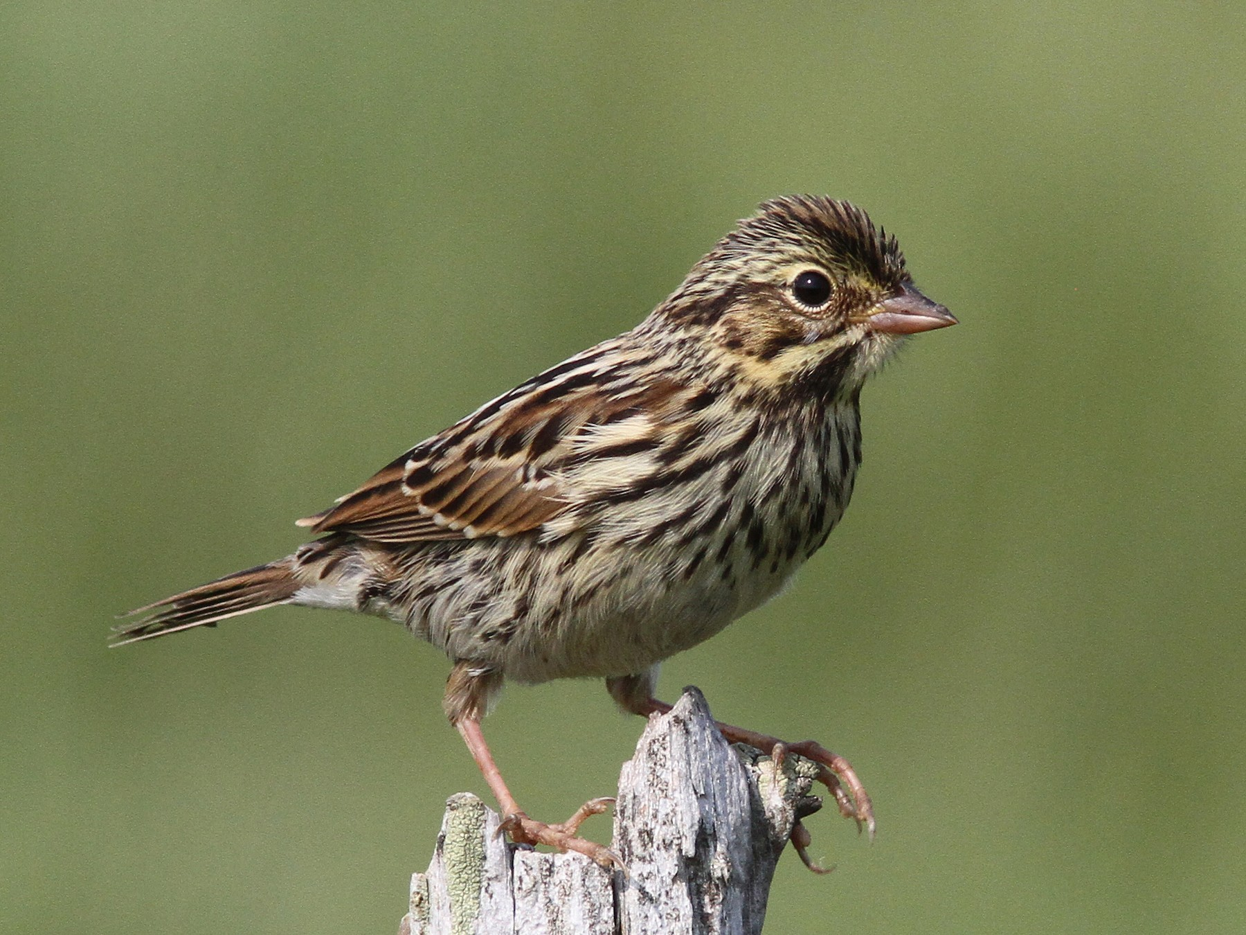 Savannah Sparrow - Daniel Jauvin