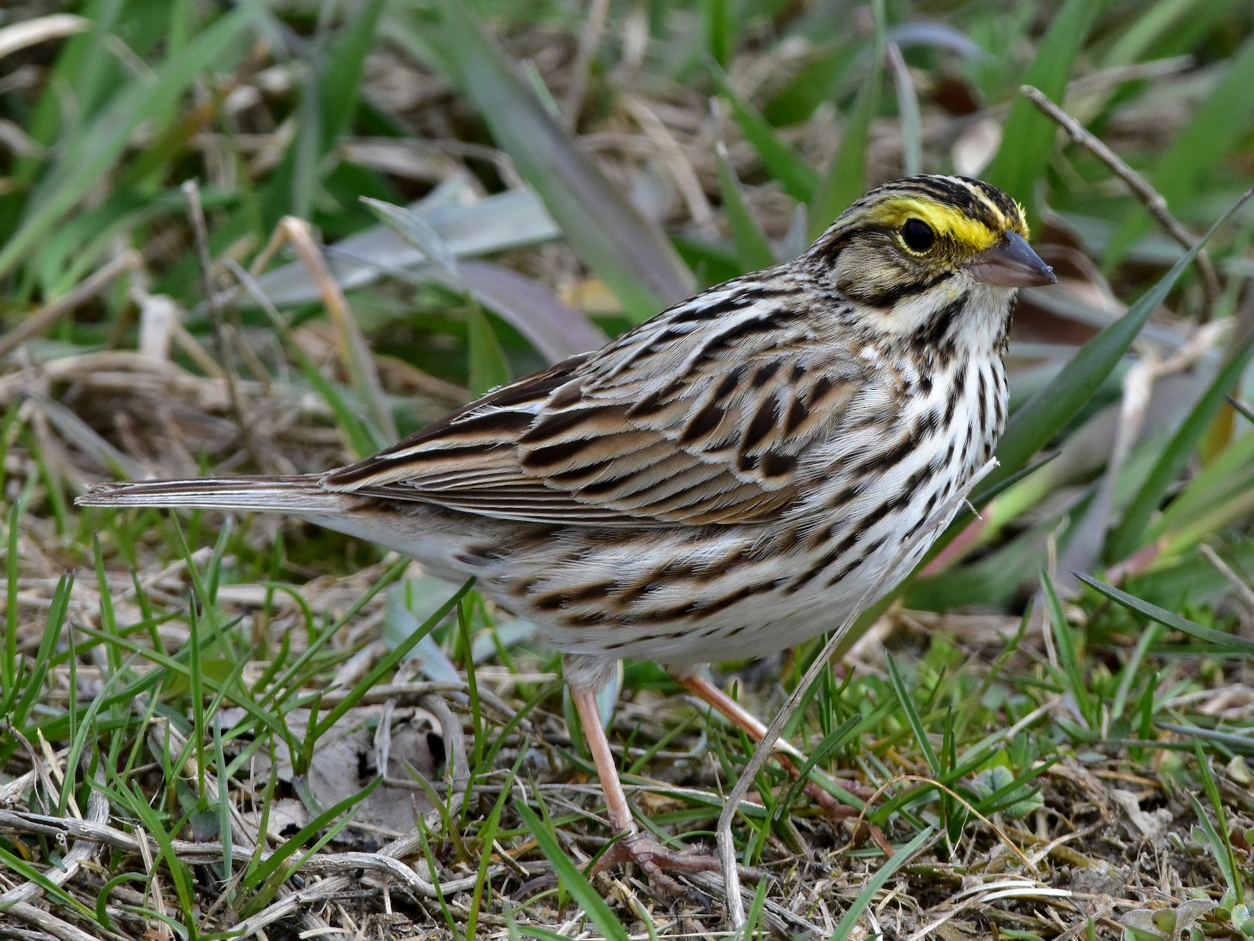 Savannah Sparrow - Henry Trombley