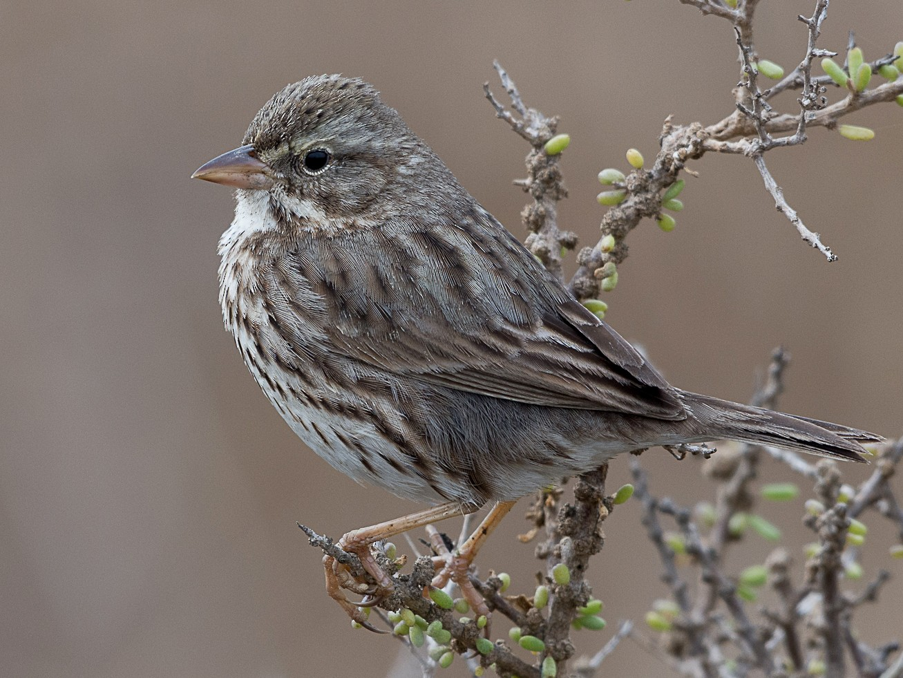 Savannah Sparrow - Jordan Satler