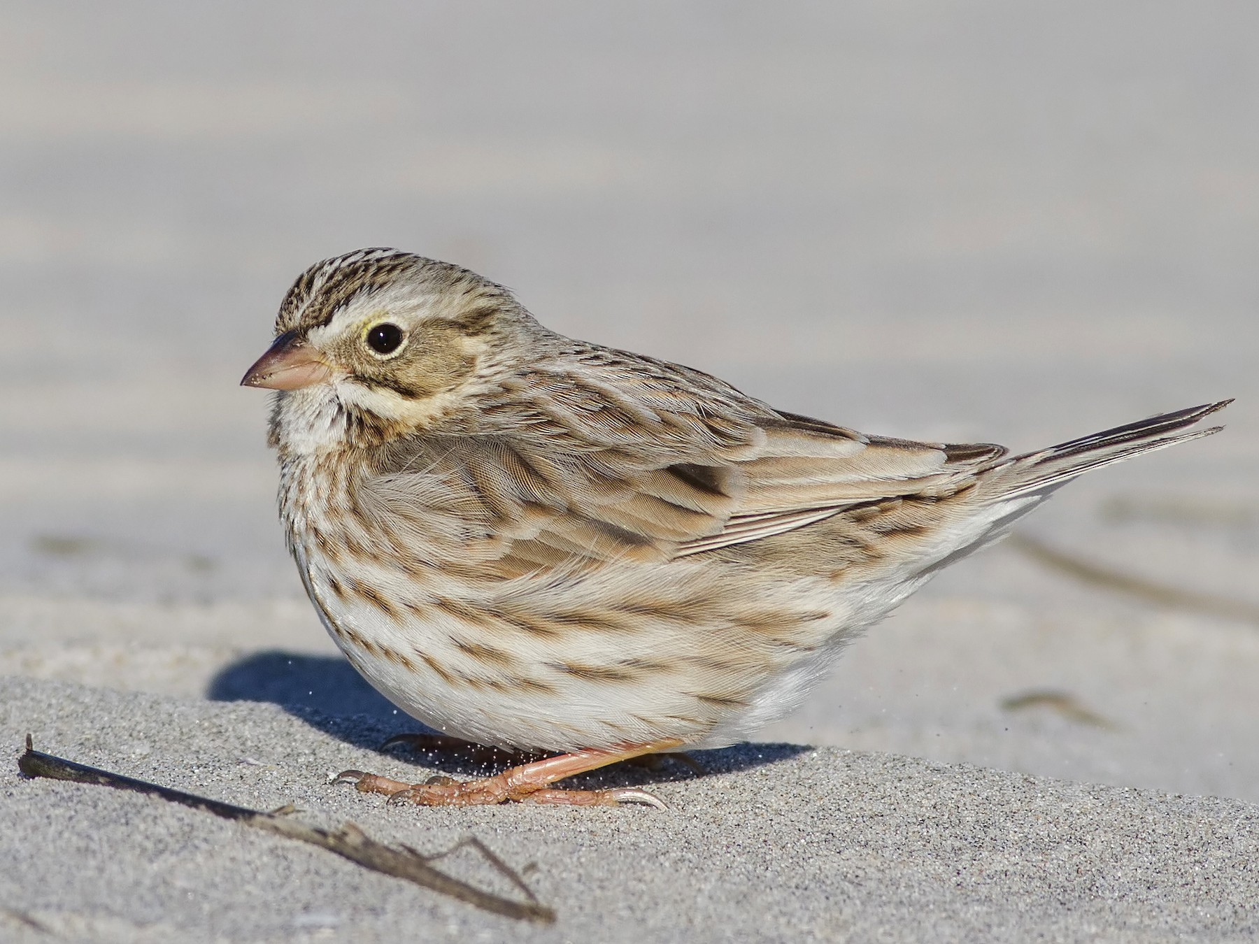 Savannah Sparrow - Samuel Paul Galick