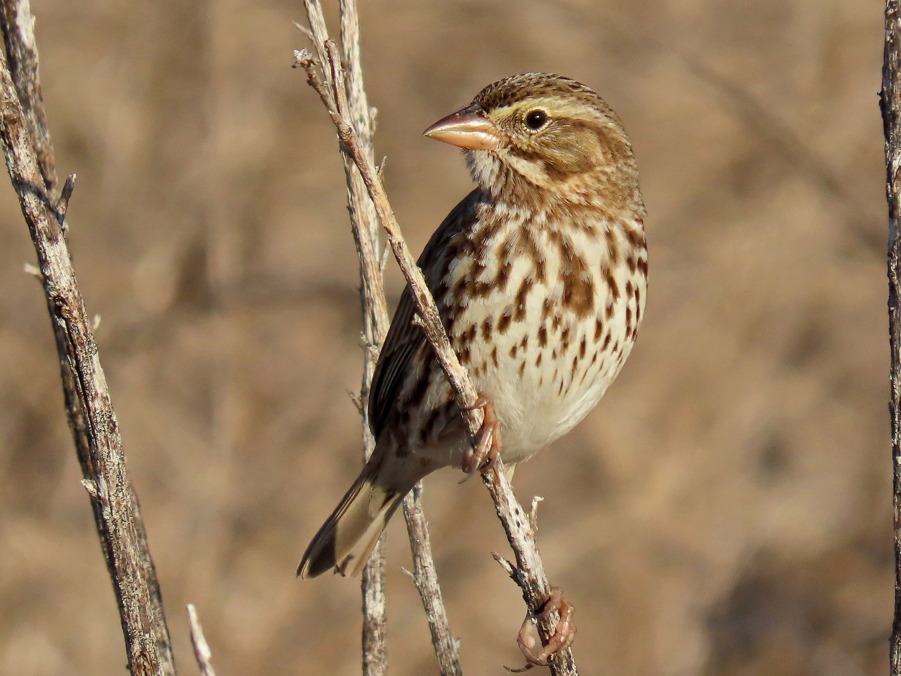 Savannah Sparrow - Tom Edell