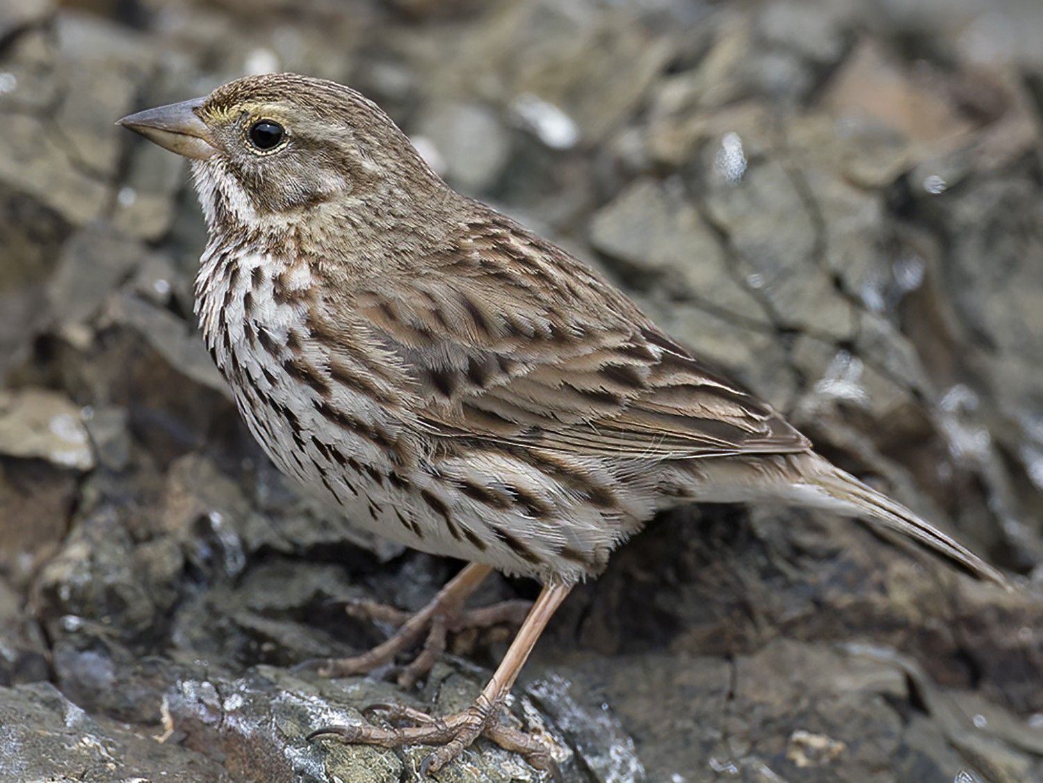 Savannah Sparrow - David Pereksta