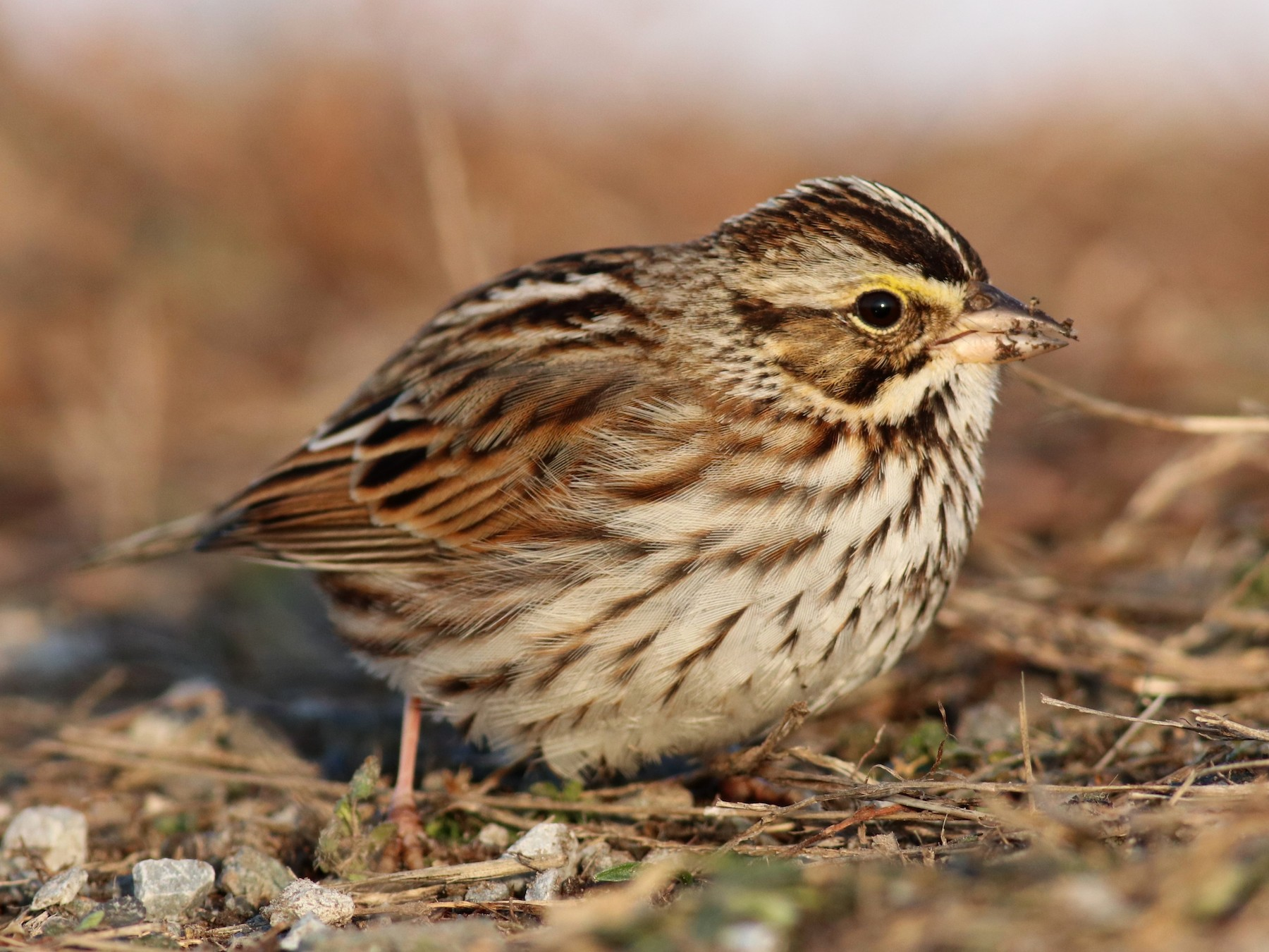 Savannah Sparrow - Brendan  Fogarty