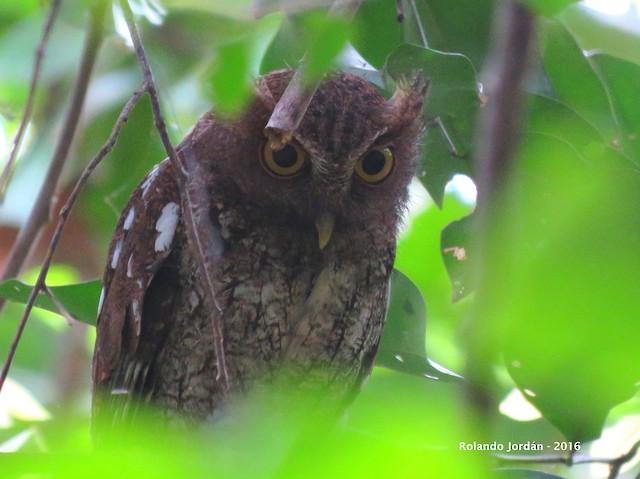 ©Rolando Jordan - www.ROJOBirding.com - Choco Screech-Owl