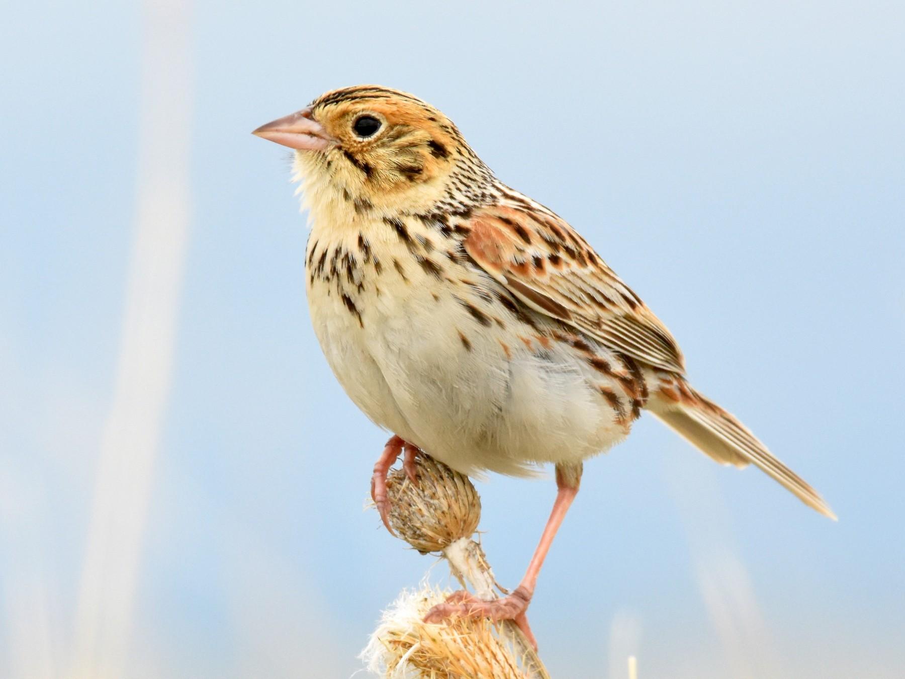 Baird's Sparrow - Andy Bankert