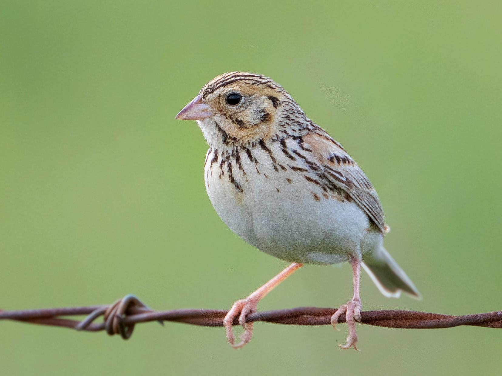 Baird's Sparrow - Michelle Schreder