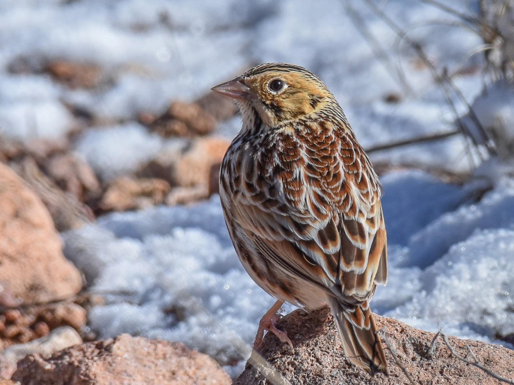 Baird's Sparrow - Jack Parlapiano