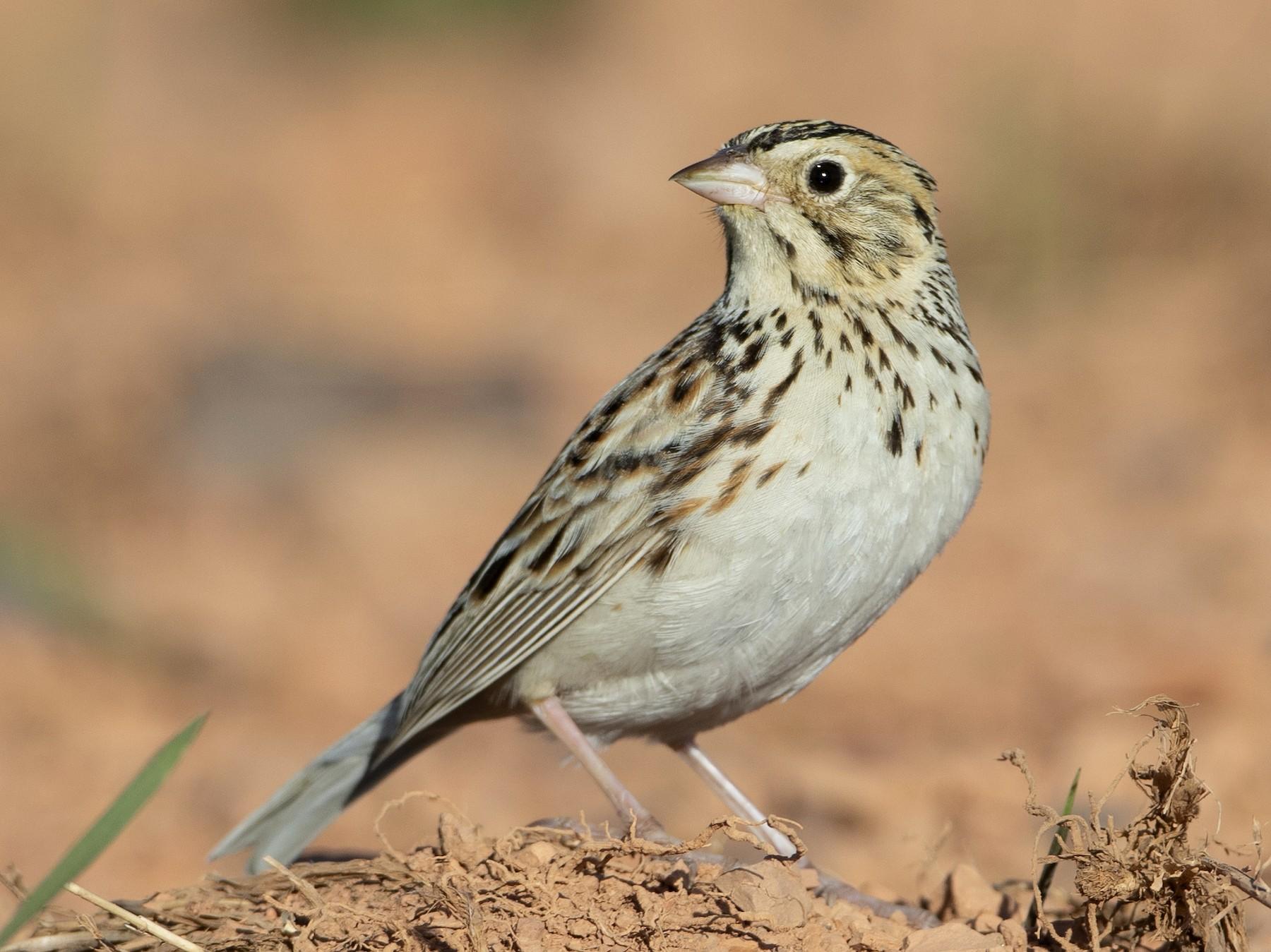 Baird's Sparrow - Brian Sullivan