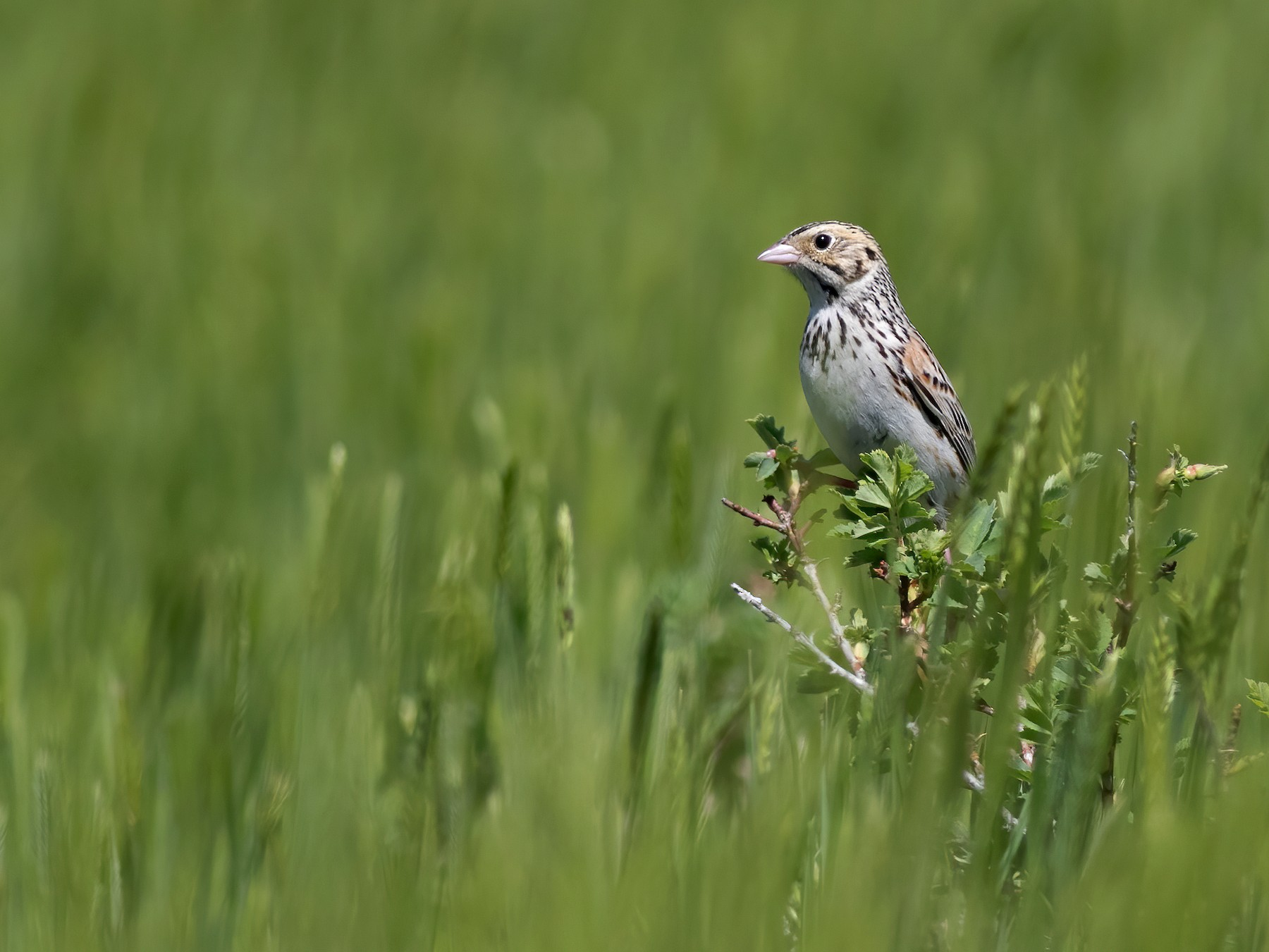 Baird's Sparrow - Joachim Bertrands