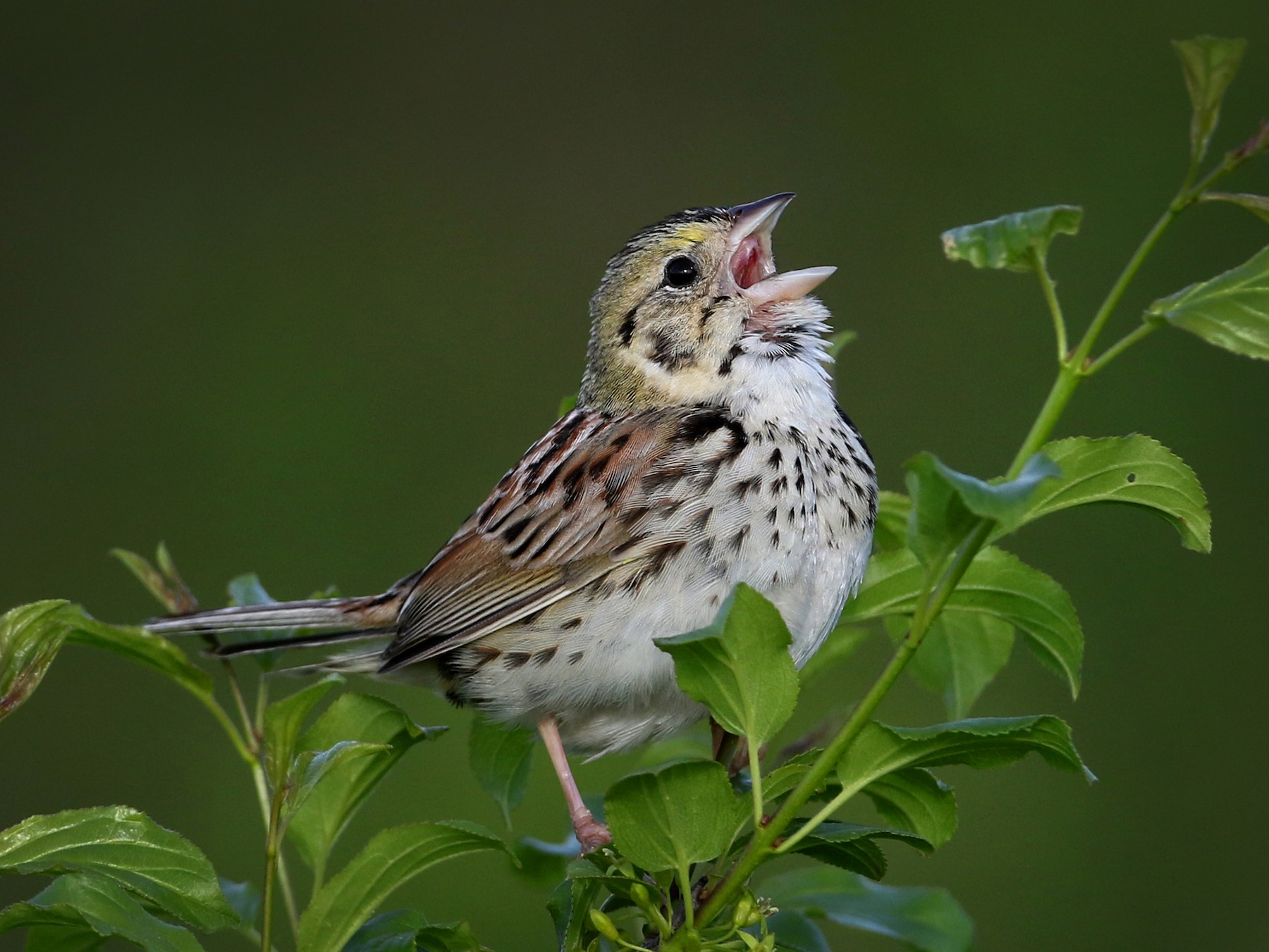 Henslow's Sparrow - Jay McGowan