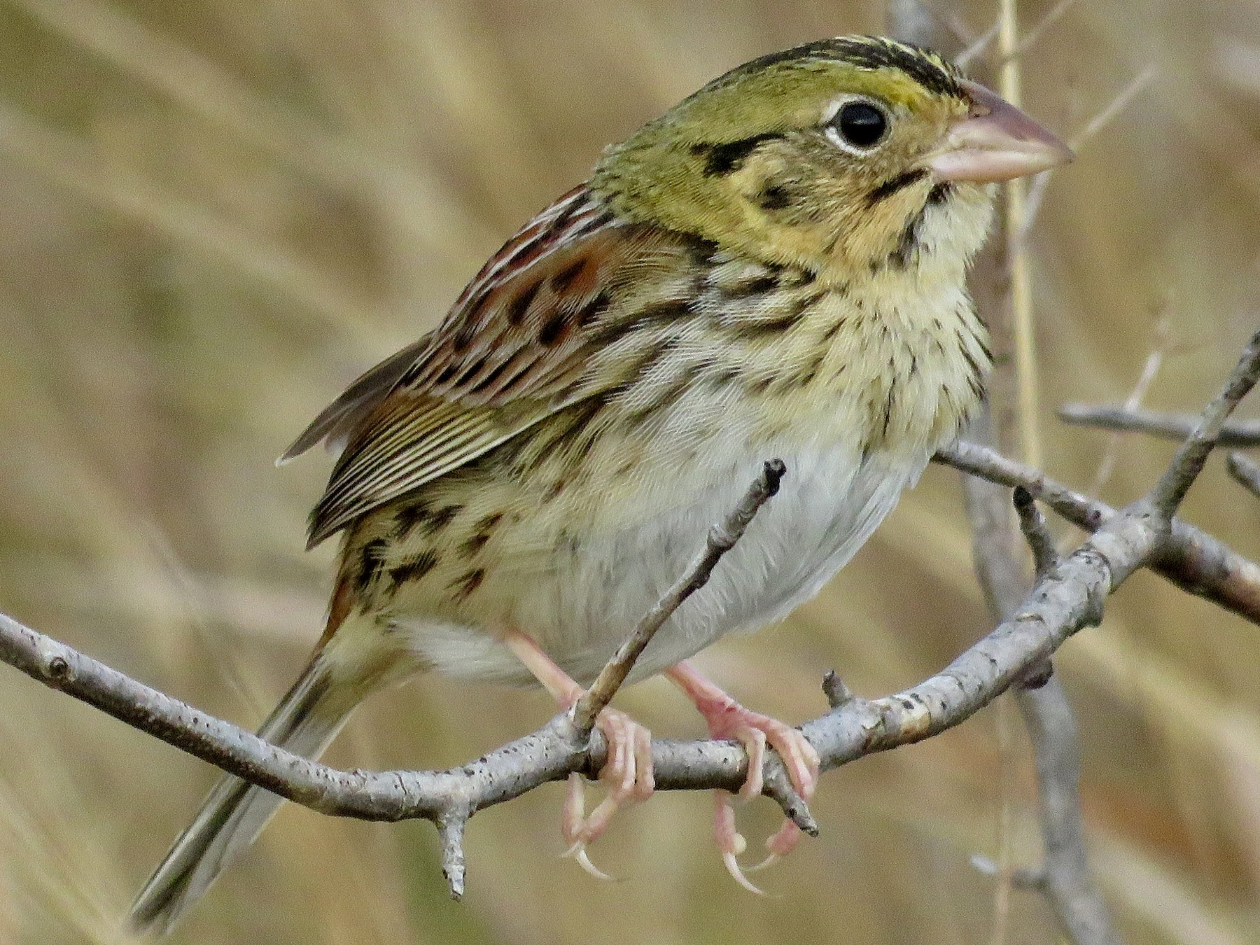 Henslow's Sparrow - Jan Hansen