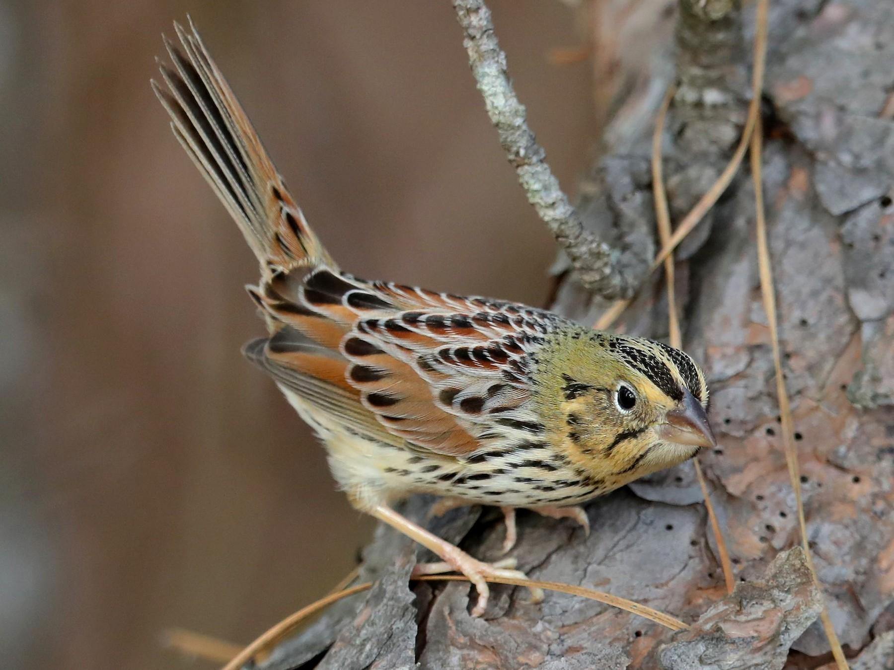 Henslow's Sparrow - Charles Lyon