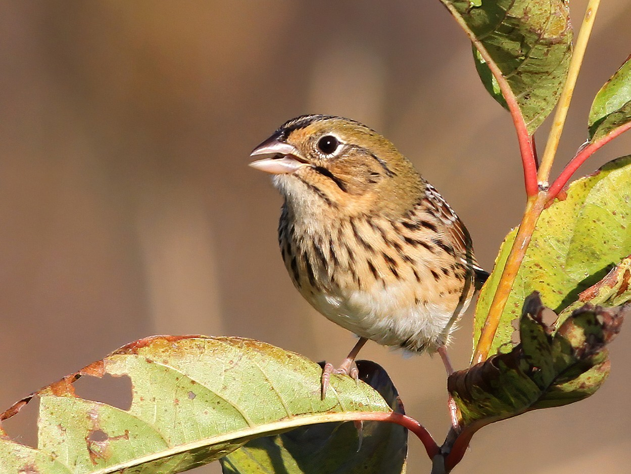 Henslow's Sparrow - Brandon Caswell