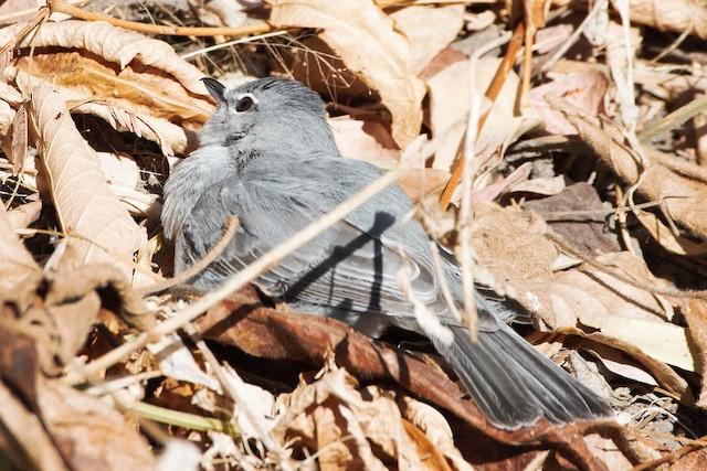 Ashy Flycatcher sunbathing.