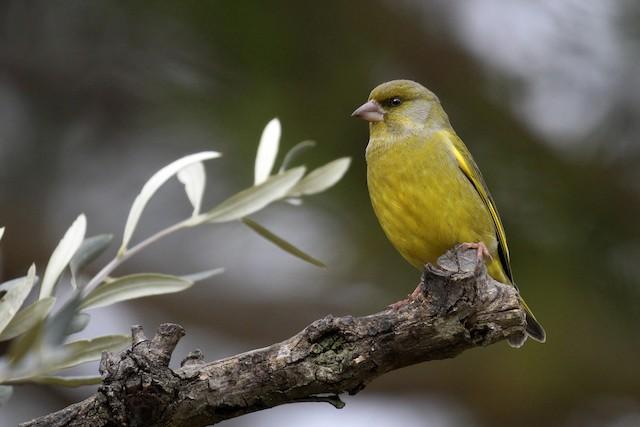 ©Francisco Barroqueiro - European Greenfinch