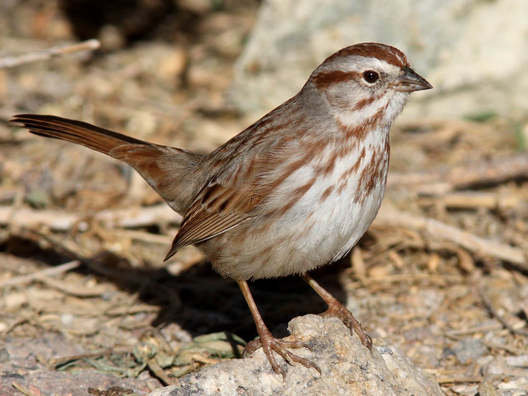 Song Sparrow - Sean Fitzgerald