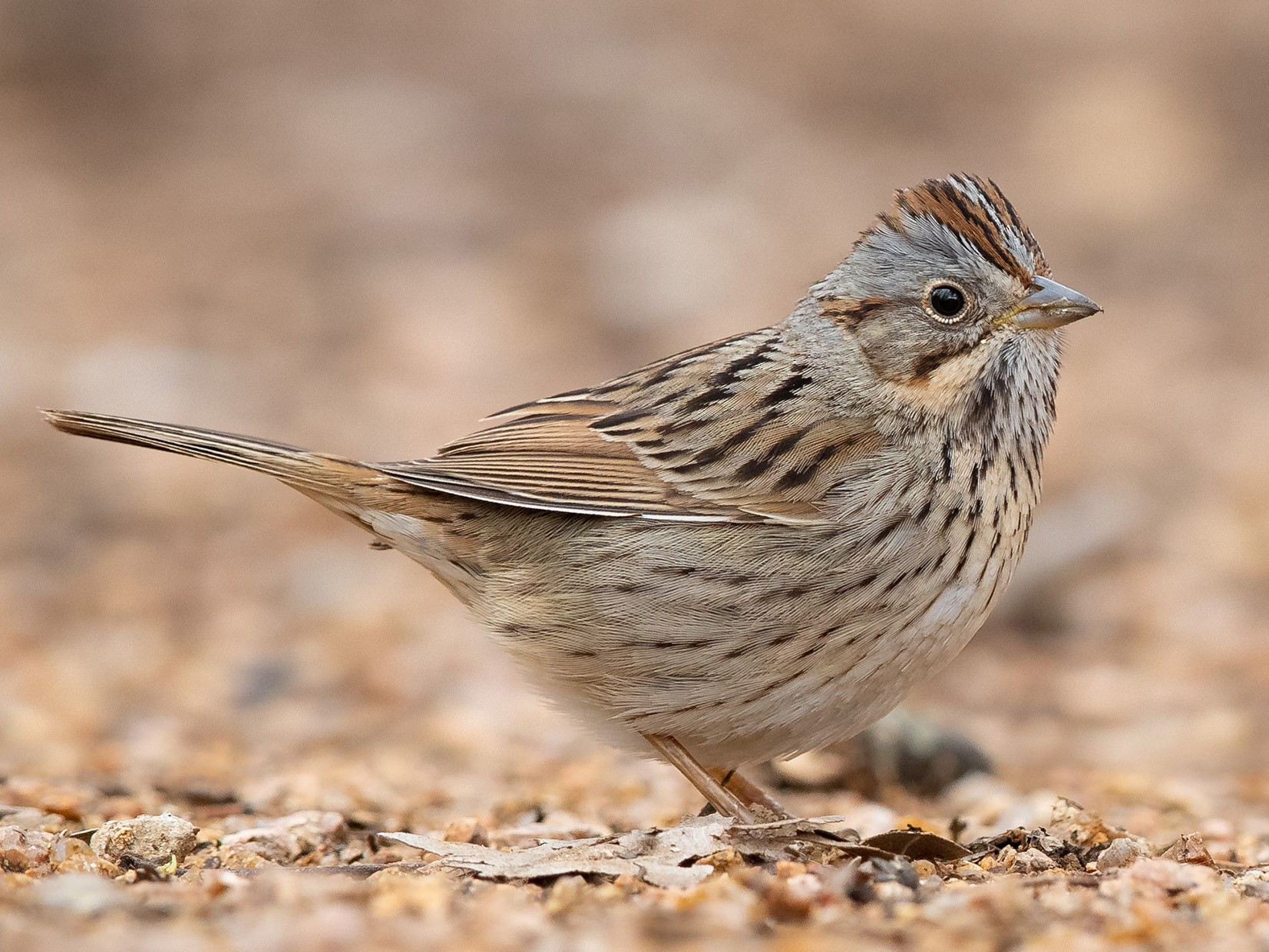 Lincoln's Sparrow - Mike Cameron