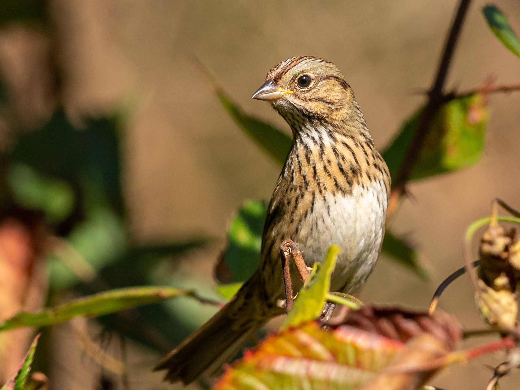 Lincoln's Sparrow - Brad Imhoff