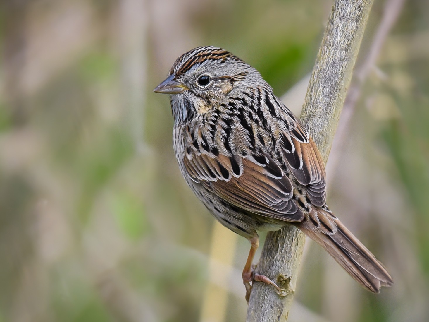 Lincoln's Sparrow - Scott Martin