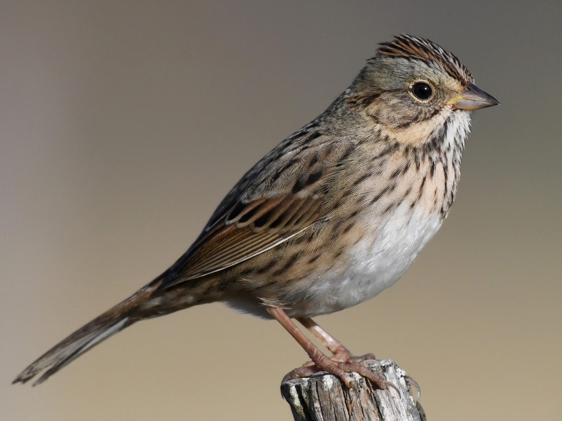 Lincoln's Sparrow - Simon Kiacz