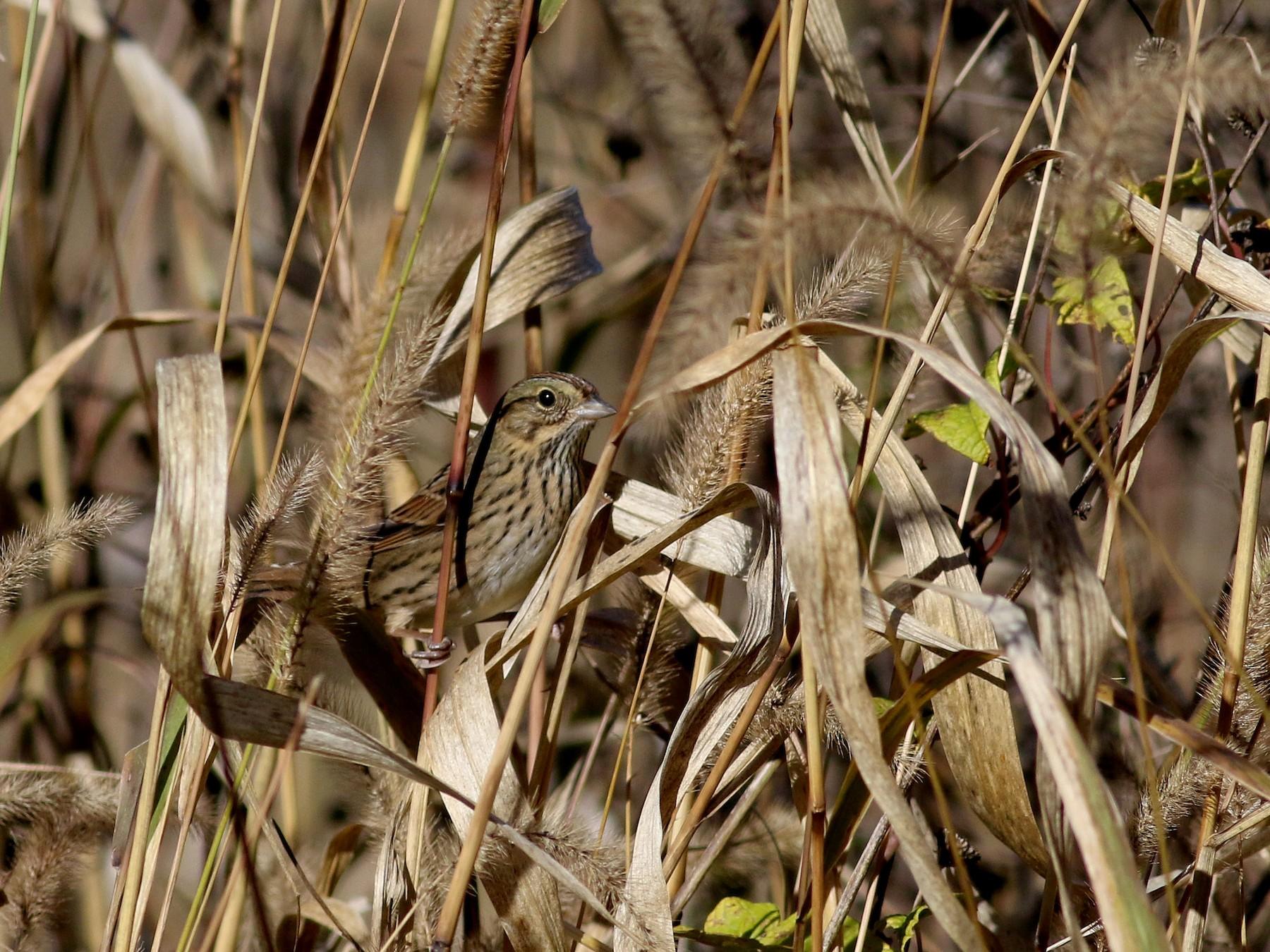 Lincoln's Sparrow - Jay McGowan