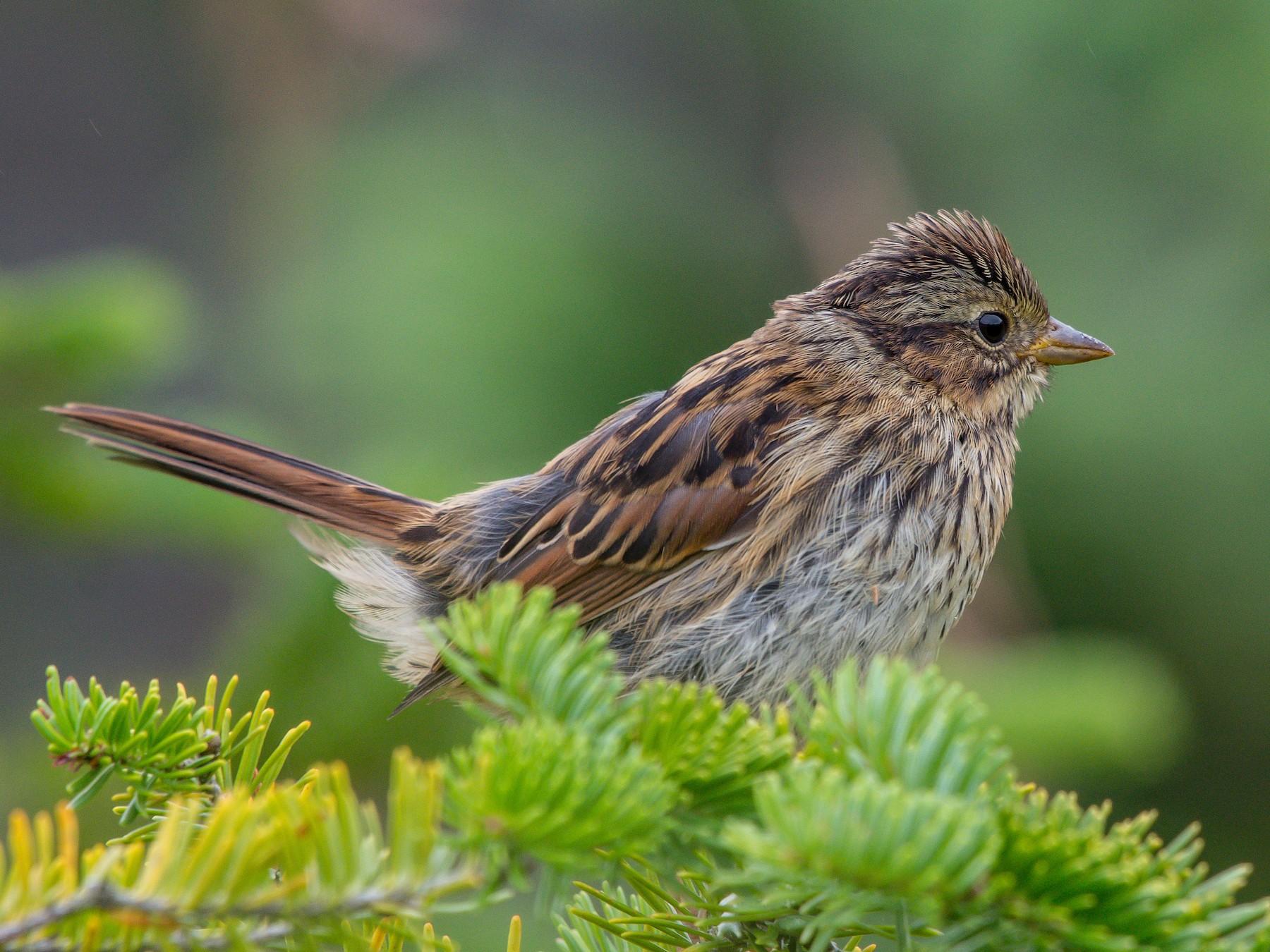 Swamp Sparrow - Frank King