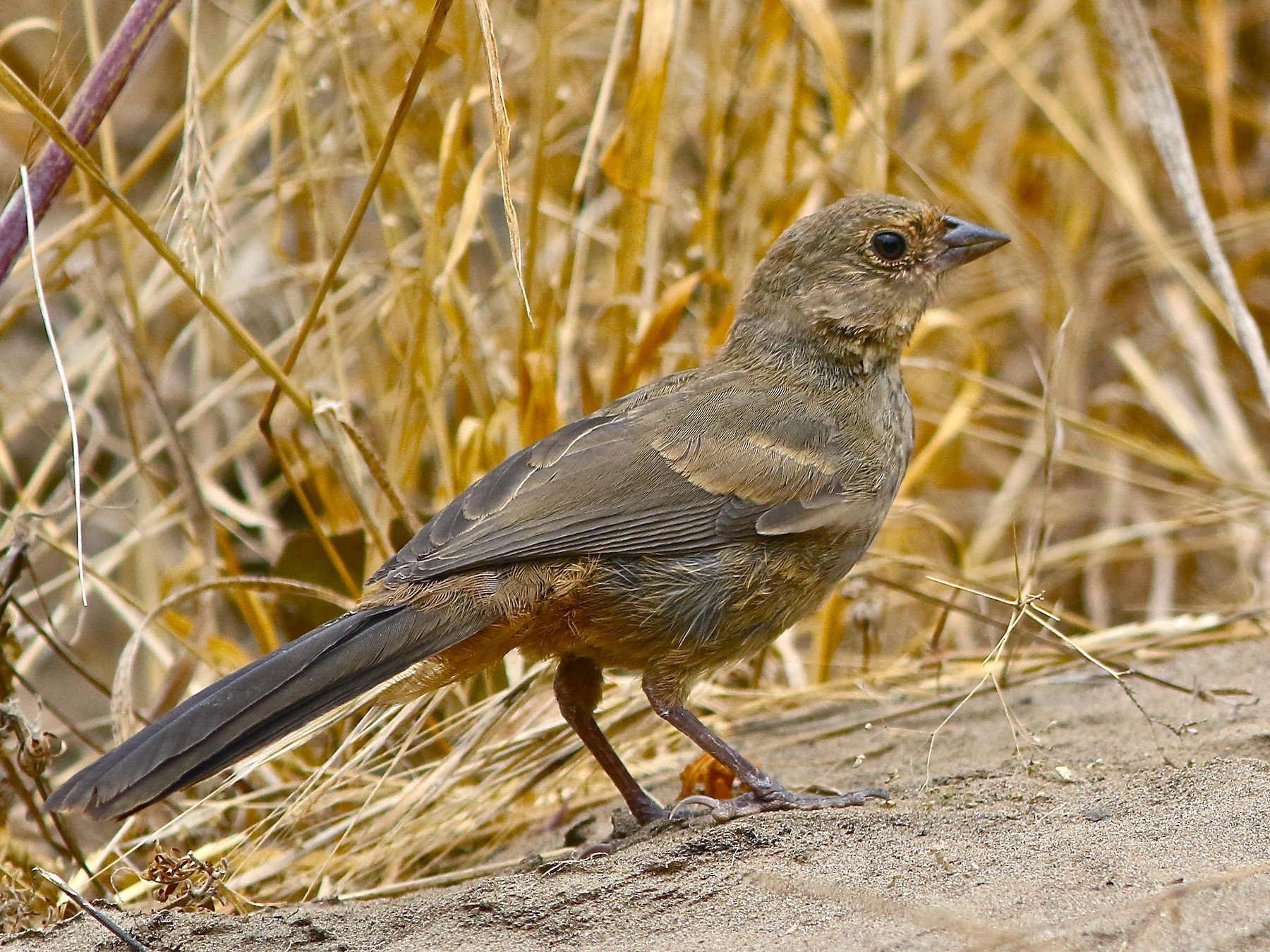 California Towhee - Don Roberson