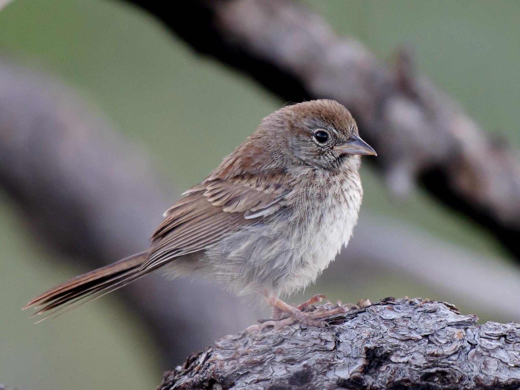 Rufous-crowned Sparrow - Gordon Karre