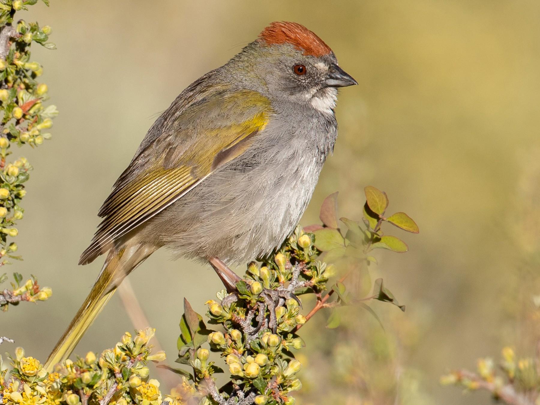 Green-tailed Towhee - Ian Davies