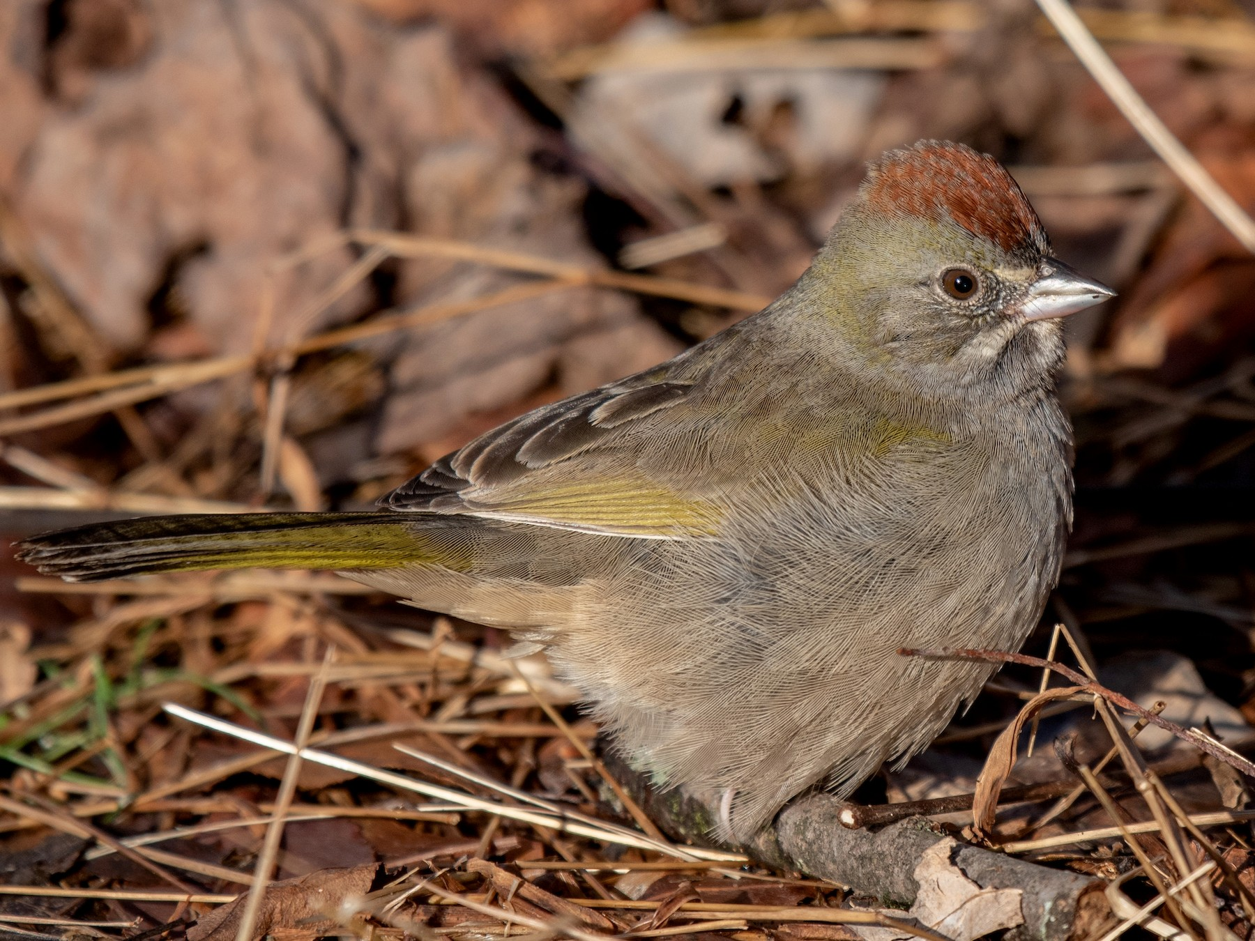 Green-tailed Towhee - Kayann Cassidy
