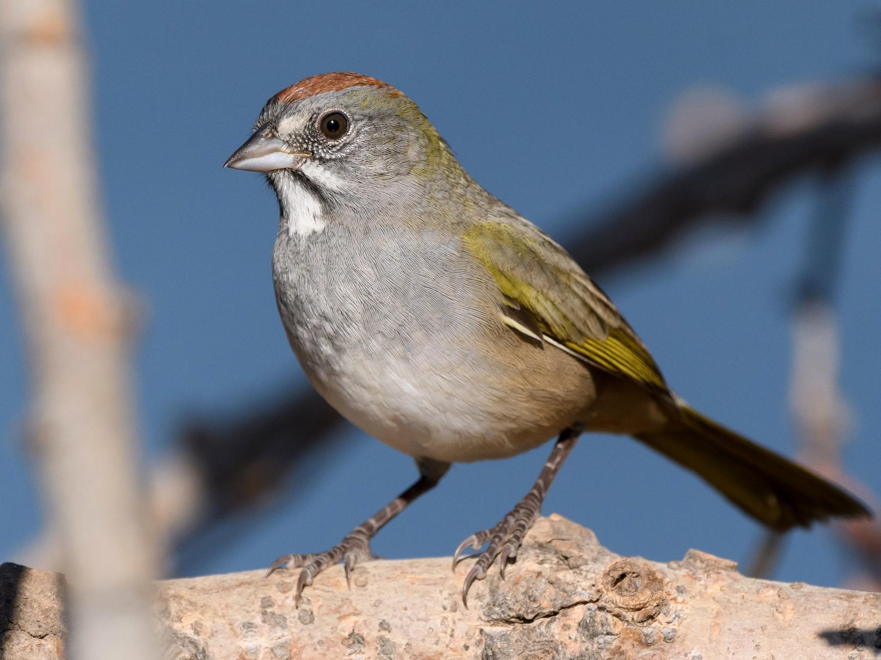 Green-tailed Towhee - Darren Clark
