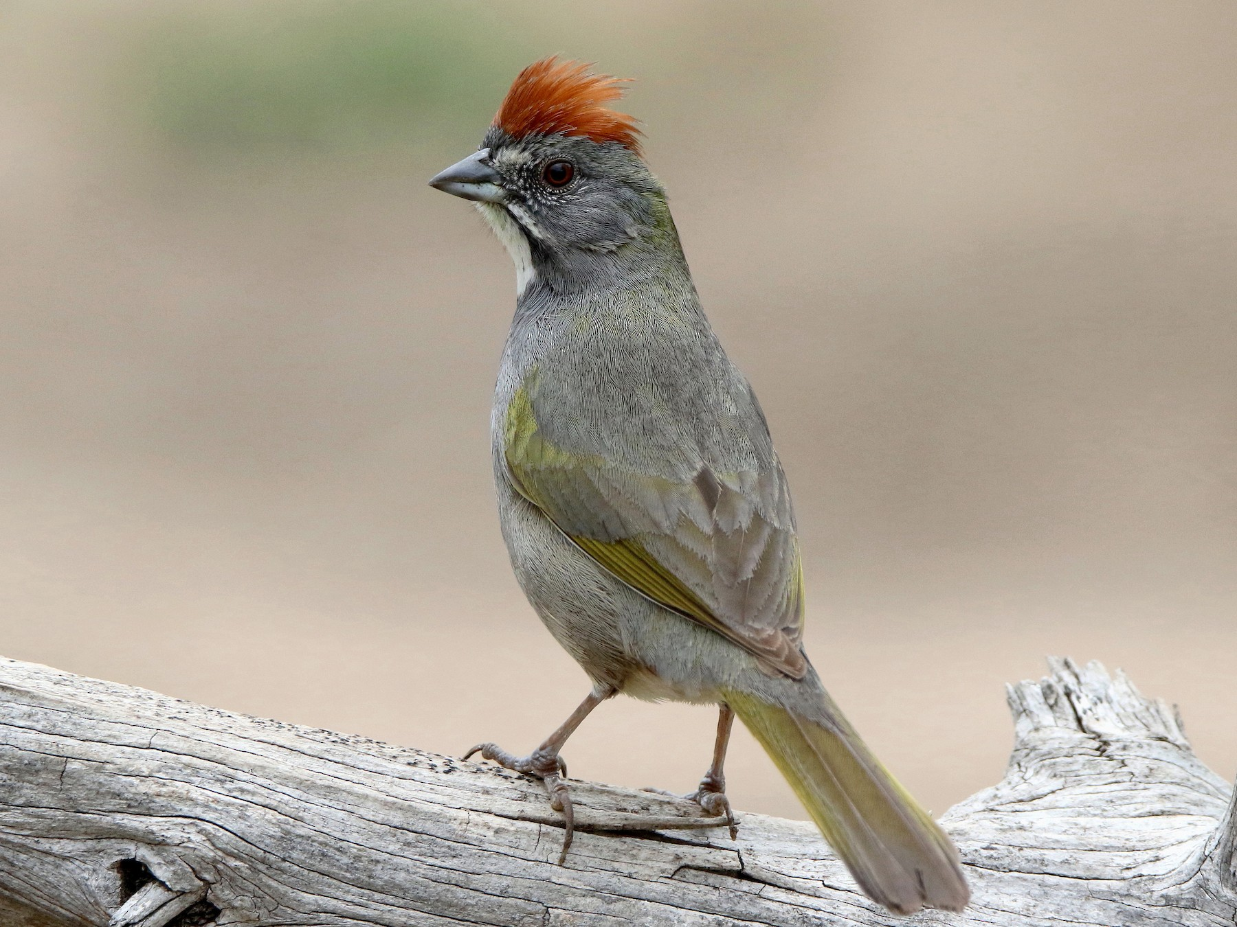 Green-tailed Towhee - darrell Cochran