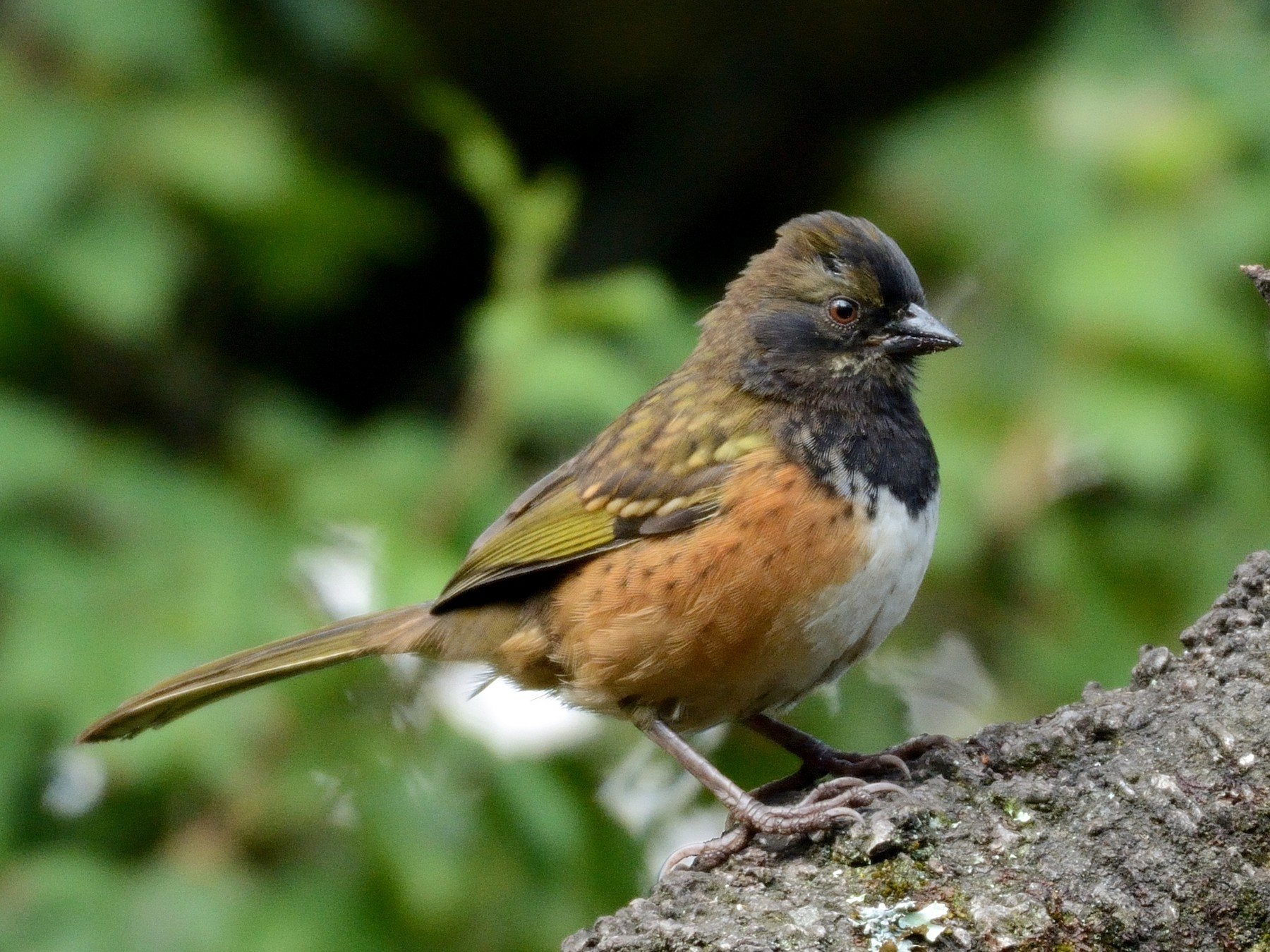Spotted Towhee - Miguel Angel Aguilar (Birdnomad)