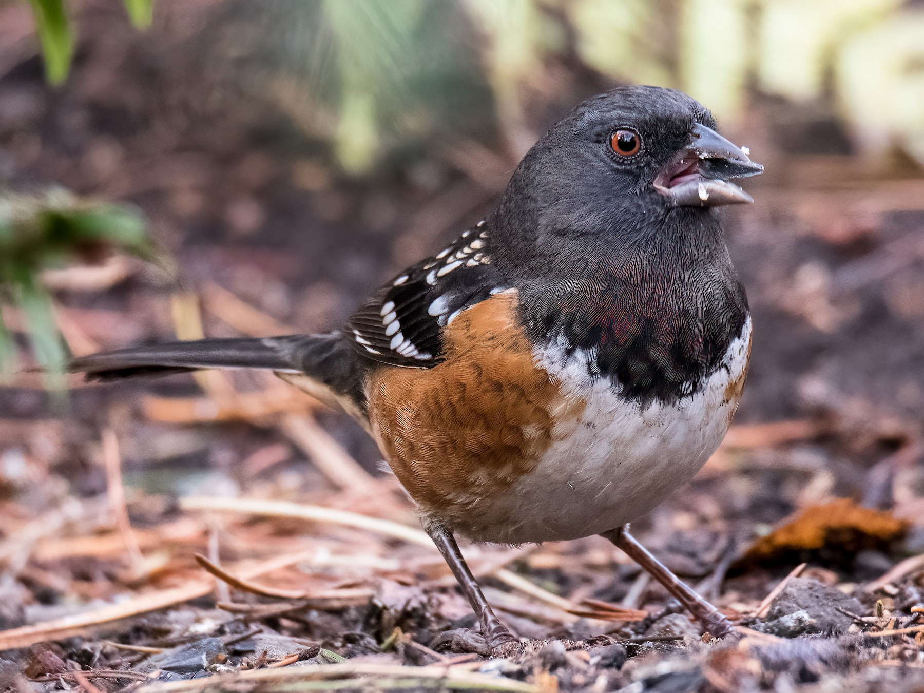 Spotted Towhee - Terry Karlin
