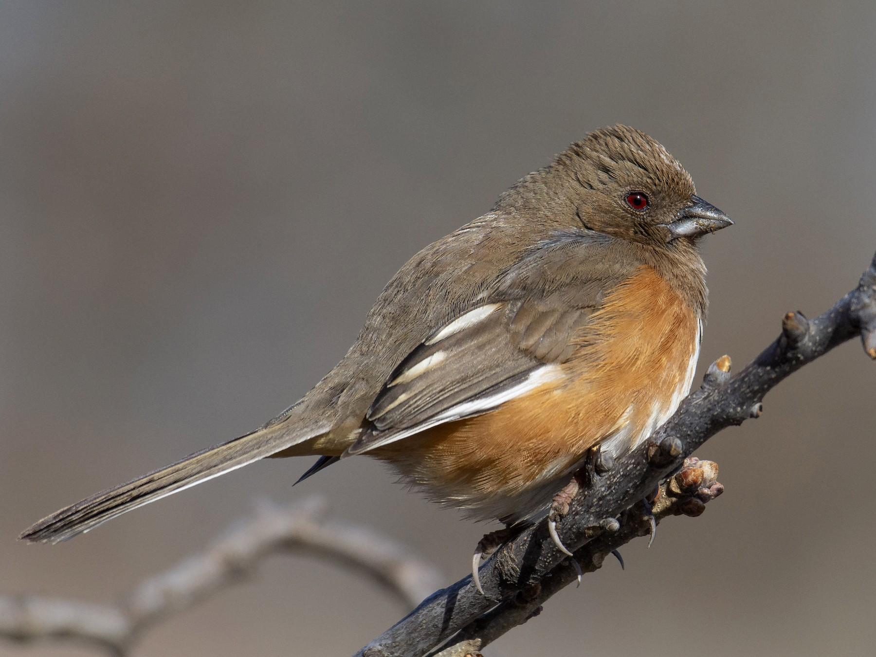 Eastern Towhee - Marky Mutchler