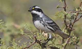 - Black-throated Gray Warbler