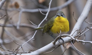 - Yellow-breasted Chat