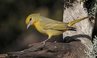 - Hepatic Tanager