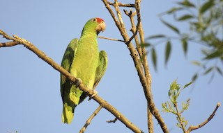 - Red-crowned Parrot
