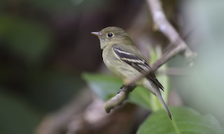 - Yellow-bellied Flycatcher