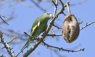 - White-winged Parakeet